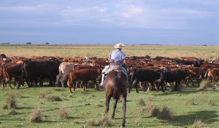 g hearding cattle2